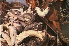 Рыбы Азовского моря