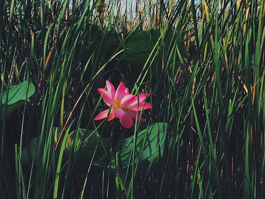 1цветок лотоса